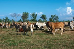 CIC_Cattle